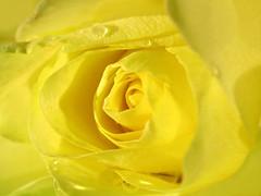 yellow rain (✿ Graça Vargas ✿) Tags: flower macro rose yellow graçavargas ©2008graçavargasallrightsreserved 24214090909