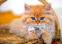 Shiri (Abdalla Naas) Tags: africa animal cat persian kitten libya shiri d80 cc100 bestofcats platinumphoto superbmasterpiece diamondclassphotographer flickrdiamond