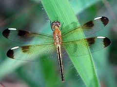A Dragonfly Day - Sunday (emblatame (Ron)) Tags: insect wings dragonfly australia cairns breathtaking odonata saddlemountain abigfave goldwildlife goldstaraward ahqmacro epiproctophora qualitypixels foomwildlife