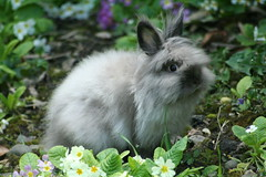 ConiGliO 23 (SpUtNik 23 -RUR und MKZ) Tags: rabbit bunny angora poil lapin nain lapinou poilu rongeurs pissou lapereau malembouch machineacrottes
