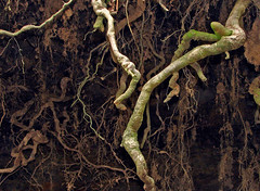 Do my roots need doing ? (Mr Grimesdale) Tags: tree sony roots lancashire treeroots parbold fairyglen mrgrimsdale stevewallace dsch2 waterrfall mrgrimesdale