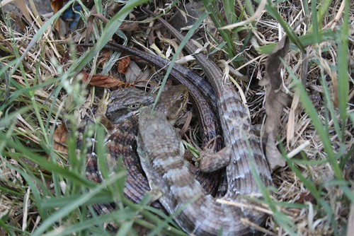 menage a-trois, lizard style