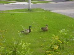 ducks 05.16.08 005