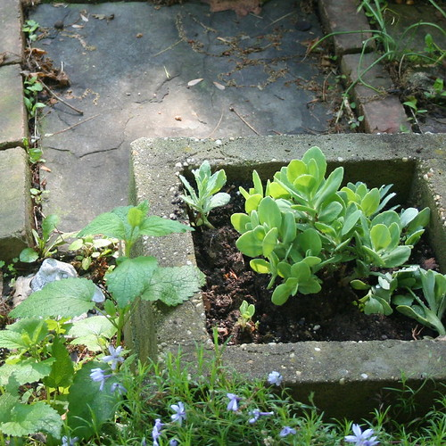 seedum in concrete planter