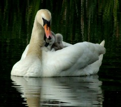 Nature at its cutest (harleyannie) Tags: wild white cute nature water babies sweet ducks swans birdwatcher naturesfinest breathtakingbeauty impressedbeauty ourplanet
