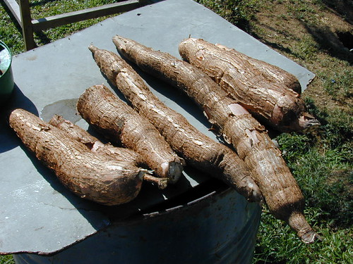 Cassava in Fiji © prilfish
