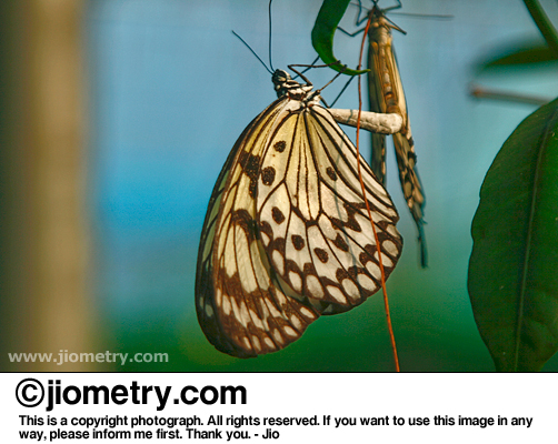 Pair of mating paper kite butterflies