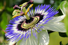My first passionflower of this year! (Margot) Tags: flower nature garden spring backyard seasons passiflora passionflower passibloem margotpouw project366 1on1flowersphotooftheweek margot 1on1flowersphotooftheweekjune2008