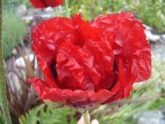 wrinkled_red_poppy