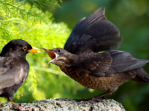 Young Blackbird © Roger Butterfield