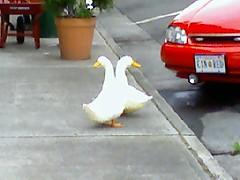 Hardware Store Ducks