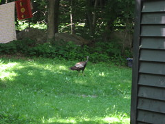 Wild turkey at Cascading Waters
