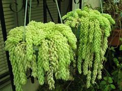 Hanging Donkey's Tails (joeysplanting) Tags: crassulaceae sedum succulents burrostail sedummorganianum donkeystail