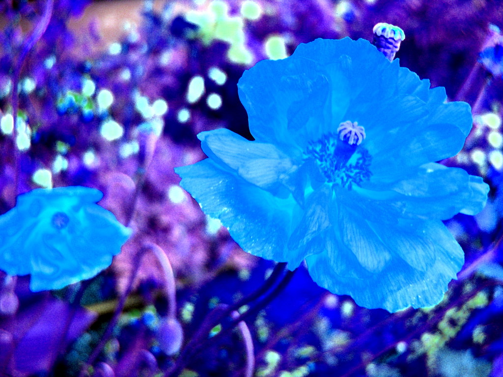 spanish poppies blue full