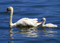Baby I Love Your Way (flipkeat) Tags: baby white ontario cute nature water closeup outdoors wildlife awesome feathers cygnet adorable lakeontario waterfowl reflexions muteswan cygnusolor portcredit blueribbonwinner bej fineartphotos animalkingdomelite abigfave abigfav avianexcellence empyreananimals dsch7 naturewatcher onephotoweeklycontest goldstaraward ab waterbirds rubyphotographer salveanatureza