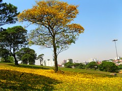 Yp amarelo, (tabebuia vellosoi) bignoniaceae, Parque CERET sao Paulo, Brazil (mauroguanandi) Tags: brazil tree yellow tabebuia bignoniaceae solofotos mimamorflores tabebuiavellosoi