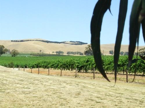 Australia-barossa-vines-2