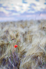 Coquelicot (Mannyyy) Tags: summer canon golf eos 350d 50mm soleil bokeh f14 champs 2008 bl yvelines guyancourt ef50mmf1