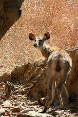 Sambar deer (Ursula in Aus) Tags: india nature animal nationalpark deer rajistan rajasthan sambar ranthambhore cervidae ranthambhorenationalpark cervusunicolor goldwildlife earthasia