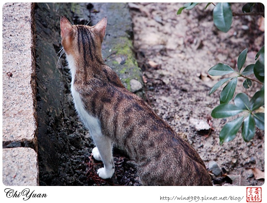 【貓季】怕人又親人的北投貓