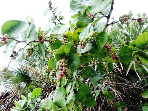 ripe sea grapes