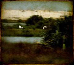 w (ArteZoe) Tags: texture birds photoshop golden florida dunes grunge flight anastasia masterpiece egrets saltmarshes artezoe proudshopper goldenmasterpiece