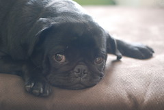A gratuitous picture of my pug to melt your heart.