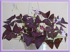 Our potted Oxalis triangularis spp Triangularis (Purple Shamrock or Lucky Shamrock), shot Sept 13, 2008