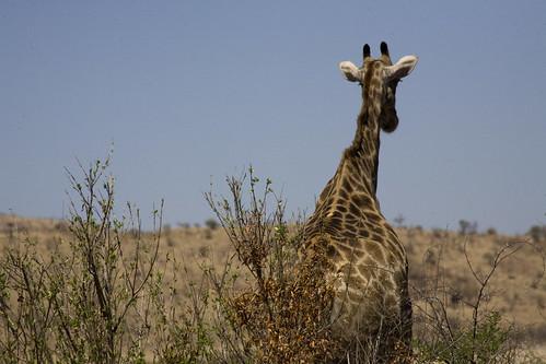 Bye-bye Giraffe