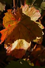 FLORA 032 (ángel mateo) Tags: flora flor flores flower color naturaleza pétalo maceta hoja belleza hojaseca viñedo vino laujardeandarax almería ángelmartínmateo ángelmateo laalpujarra andalucía españa