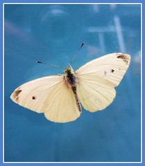 Rest on blue (Anniko 1996) Tags: nature animal butterfly amazing schmetterling anawesomeshot goldstaraward
