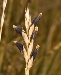 Claviceps purpurea 'Ergot Fungus' on wheat (dougwaylett) Tags: wild canada calgary native alberta parasite ascomycota hypocreales clavicipitaceae beaverdamflats claviceps sordariomycetes clavicepspurpurea ergotfungus