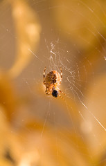 "Web Sweet Web (Herve ""Setaou"" BRY) Tags: autumn orange macro fall animal closeup automne spider web arachnid animaux araignée toile arachnide spidersilk soiedaraignée"