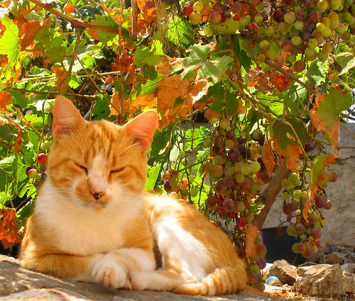 Ginger cat, Hydra, Greece