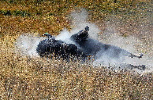 Bull Bison rolling in dirt, Hayden Valley - 0434b