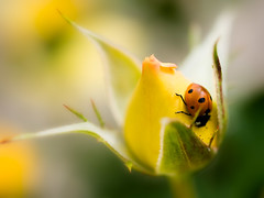 Hospitality (Muzzlehatch) Tags: california macro rose yellow library getty ladybug pasadena 2008 inttag