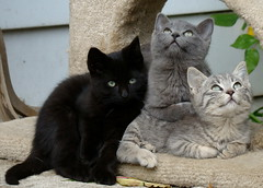 We Are Family (flipkeat) Tags: blue pet cats pets black nature cat outdoors grey three interesting feline chat different little awesome tabby adorable fluffy kittens gatos gatitos  fluffballs portcredit mywinners abigfave kissablekat impressedbeauty goldstaraward dsch50