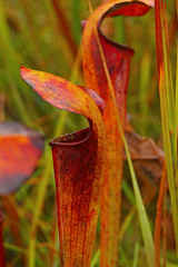 Pitcher plant  0678 (Eric Wengert Photography) Tags: pitcherplant