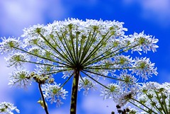 Daucus Flower (natureloving) Tags: sky flower nature nikon searchthebest bluesky wildplant queenanneslace daucus wildcarrot afsvrmicronikkor105mmf28gifed d40x natureloving bishopslace flowersinfrance flowersonblue imagesonblue fleursenfrance