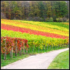 Last View at the Vineyard - Fall Landscape in Germany (Batikart ... handicapped ... sorry for no comments) Tags: travel autumn red orange mountain plant tree green rot fall nature leaves yellow forest canon germany square landscape geotagged deutschland leaf vineyard interestingness flora europa europe colours seasons forrest wine herbst natur pflanze stripe vine f100 foliage explore gelb greenery colourful geology grn blatt 2008 landschaft wald bltter indiansummer wein farben weinberg streifen canonpowershot a610 deciduoustrees geologie badenwrttemberg swabian farbenfroh canonpowershota610 herbstfarben laubbaum herbstfrbung 100faves i500 200faves strmpfelbach viewonblack regionstuttgart colorphotoaward batikart