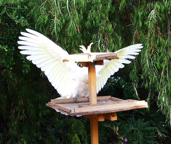 cockatoo landing wrong