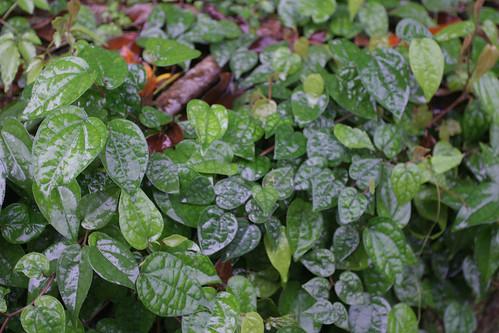 你拍攝的 三富花園農場:雨下油亮的葉子。