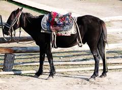 I m ready to serve u.. (Mel@photo break) Tags: china horse animal cool village ride butt mel xinjiang service  melinda kanas  mountainhorse chanmelmel melindachan