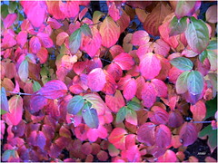 Bright colored leaves (micspics444) Tags: leaves brightlycolored rubyphotographer