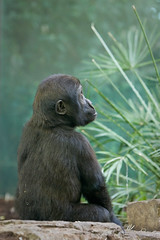 2008-11-19-10h38m29.IMG_2885l (A.J. Haverkamp) Tags: amsterdam zoo gorilla thenetherlands artis dierentuin shomari canonef300mmf4lisusmlens httpwwwartisnl dob12072007 pobamsterdamthenetherlands