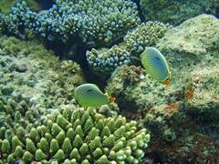 Maldives underwater: Mellon butterlyfishes (presbi) Tags: tropical fishes maldives mygearandme mygearandmepremium mygearandmebronze mygearandmesilver mygearandmegold dblringexcellence rememberthatmomentlevel4 rememberthatmomentlevel1 rememberthatmomentlevel2 rememberthatmomentlevel3 rememberthatmomentlevel5 rememberthatmomentlevel6