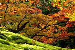 (nobuflickr) Tags: nature japan kyoto autumncolors mansyuintemple