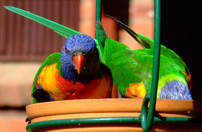 2 lorikeets eating