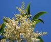 Correction: Ligustro (Ligustrum lucidum) chinese tree. Ceret Sao Paulo (mauroguanandi) Tags: brazil fabaceae ceret topshots mimamorflowers mimamorflores zollernialatifolia mucitaíba