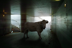 Bestial serie (Aur from Paris) Tags: paris france animals cow fake surreal montage photomontage unreal tunel bercy ruraldecay couloir vache boeuf surraliste aur quaidelarape sigmadp1
